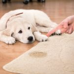 The Fastest Way To Clean Pet Odor And Stains From Carpets
